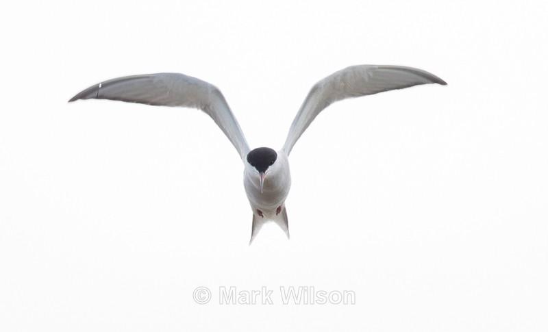 Common Tern - Norfolk - Seabirds