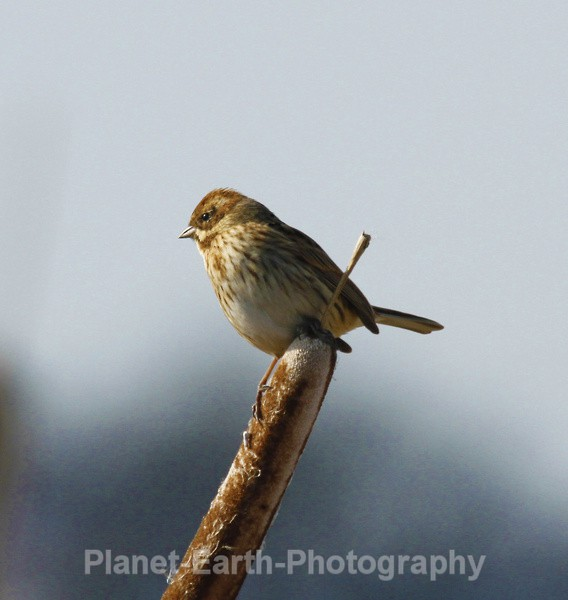 Reed Bunting - UK Wildlife