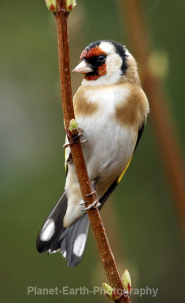 Goldfinch 5 - UK Wildlife