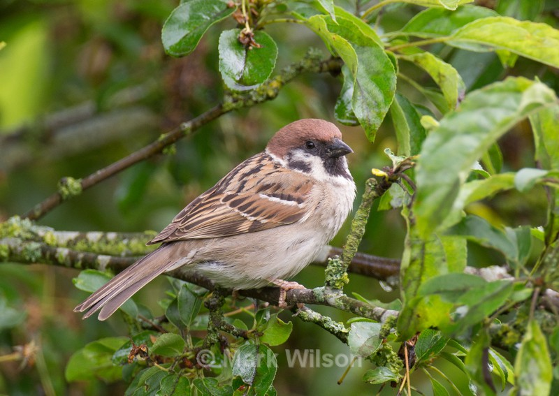 Tree Sparrow - mid-Wales - Garden birds
