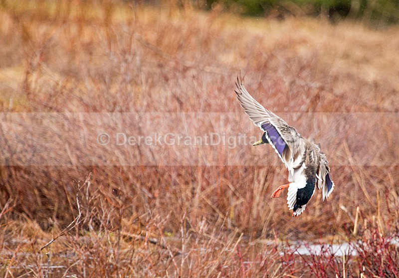 Male Mallard Landing - Birds of Atlantic Canada