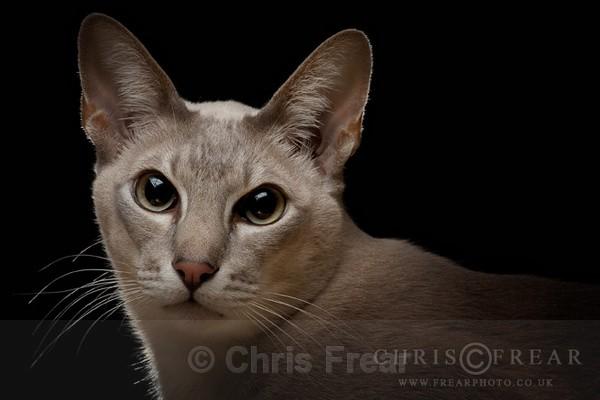 Portrait of a Cat - Cats