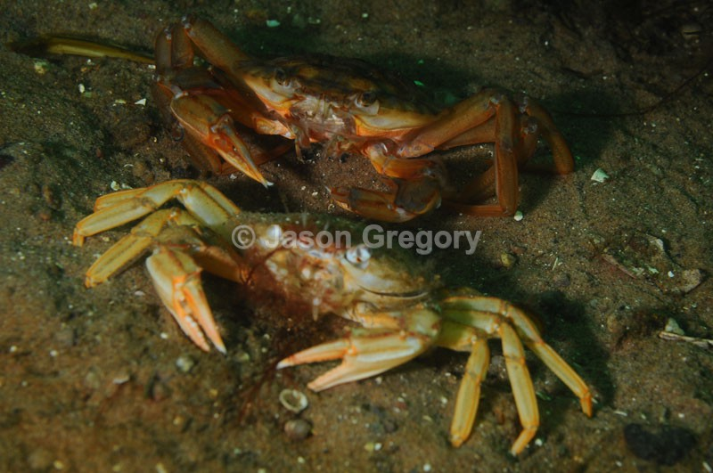 Liocarcinus depurator moulting i - Behaviour observations