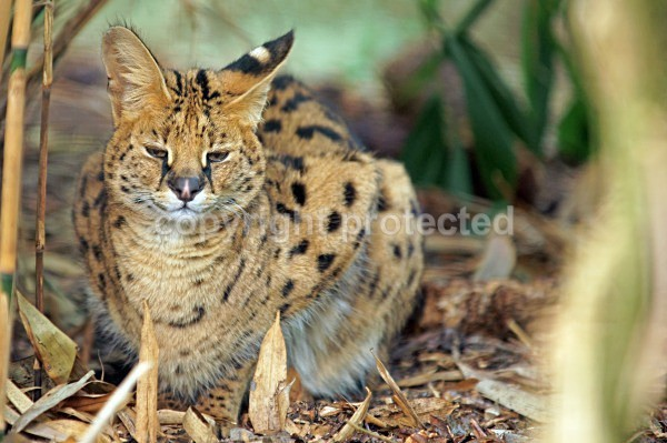 Serval Cat - Pixie - Cat Survival Trust - Big and Small Wild Cats