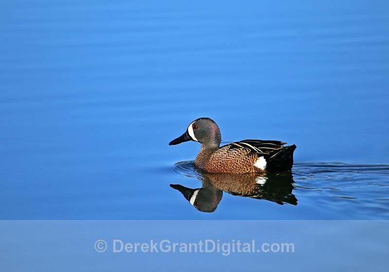 Blue-winged Teal (male) - Birds of Atlantic Canada