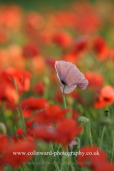 Pink Poppy. Ref 5368 - Close up images