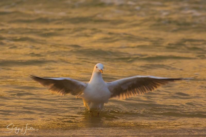 Gull Golden Dance 5 - Silver Gulls 2018 (For Sale)