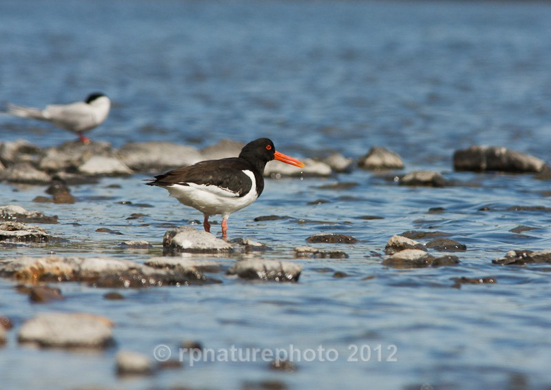 Oystercatcher - Haematopus ostralegus RPNP0065 - Birds