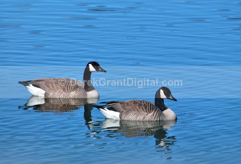 Canada Geese - Birds of Atlantic Canada