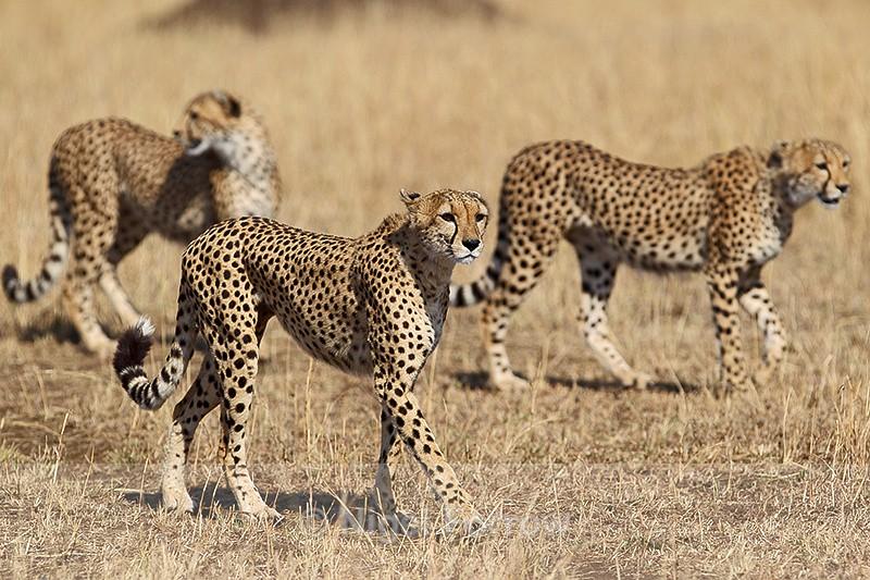 Three Cheetah brothers - Cheetah