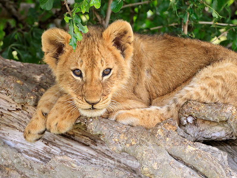 Lion cub lying on a sloping tree trunk - Lion