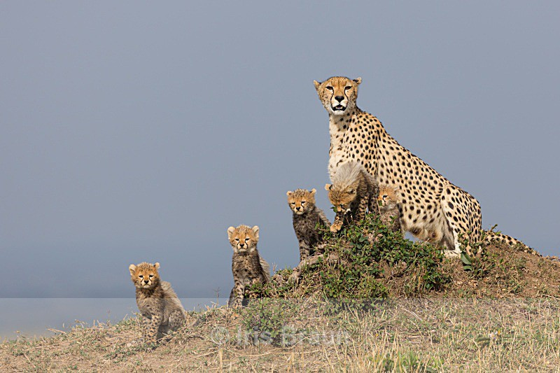 Malaika - Cheetah