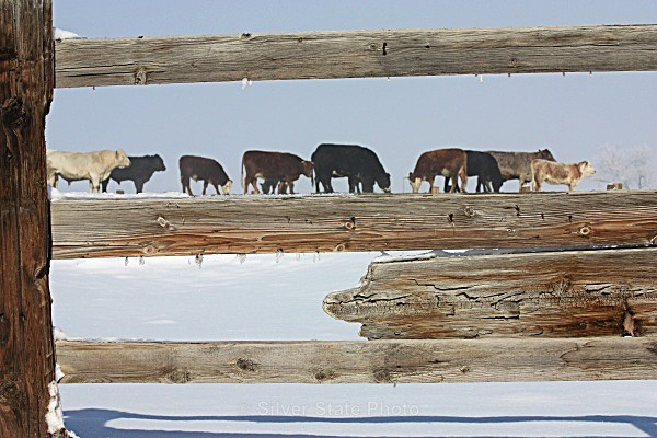 'Cows on a Fence' - 'Wildlife' (Big & Small)