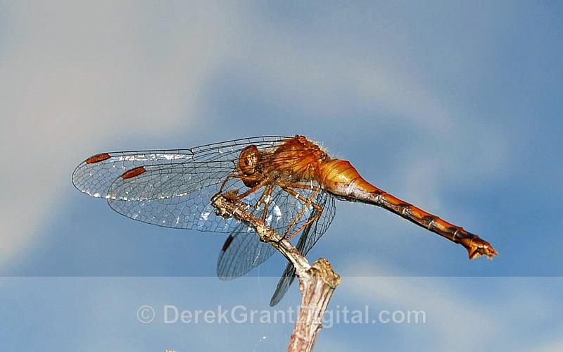 Autumn Meadowhawk (female) - Dragonflies of Atlantic Canada