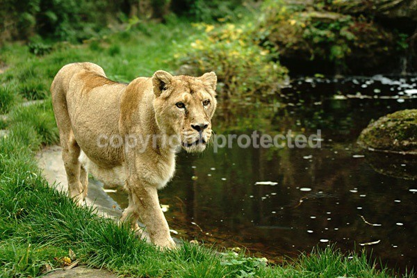 Asiatic Lioness roaming (Cotswold Wildlife Park) - Asiatic Lions