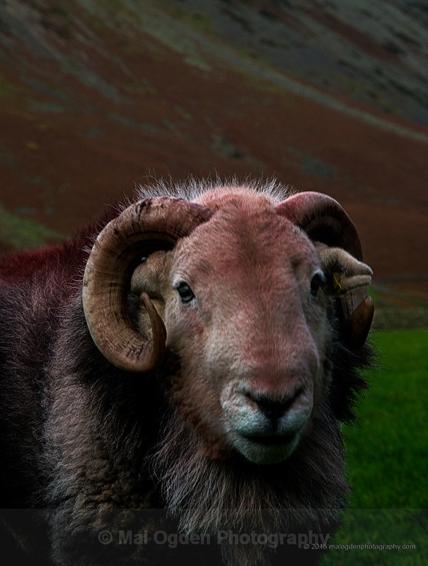 Herdwick Sheep - North West England