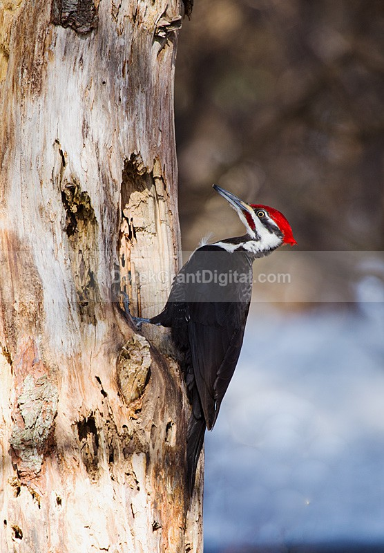Pileated WoodPecker (Male) Dryocopus pileatus - Birds of Atlantic Canada