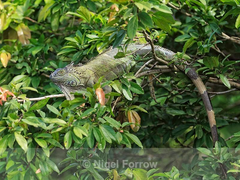 Green Iguana basking on branch, Costa Rica - REPTILES & AMPHIBIANS