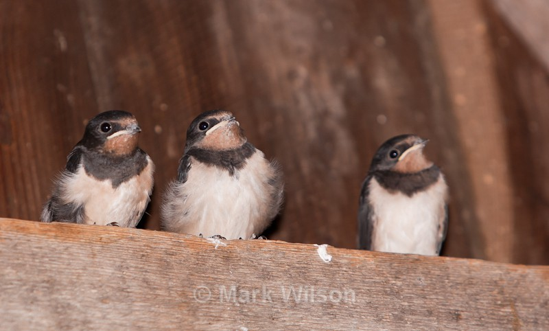 Swallow Chicks - Hafren Forest, Mid-Wales - Hirundines