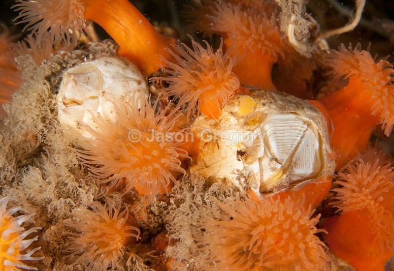 Barnacles amongst anemones - Habitat Scenes