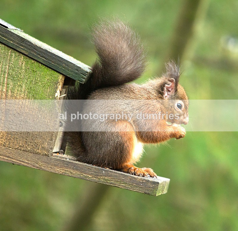 Red Squirrel 11 (disambiguation). - Eskrigg Nature Reserve Lockerbie