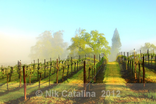 Springtime Vineyard Daybreak - Landscapes