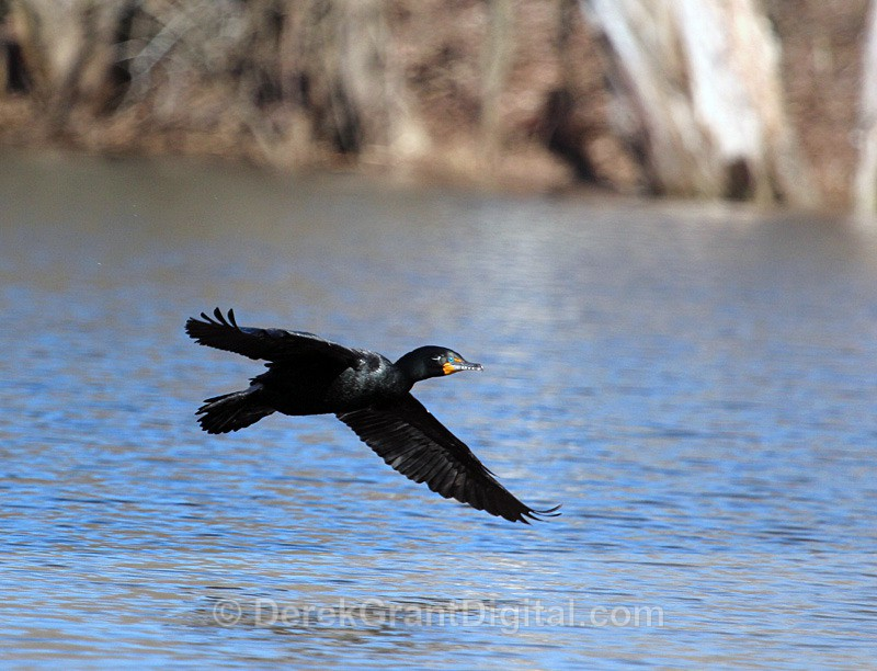 Double-Crested Cormorant in Flight - Birds of Atlantic Canada