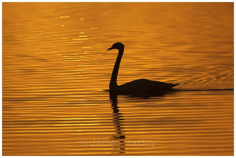Mute Swan Silhouette - Creative