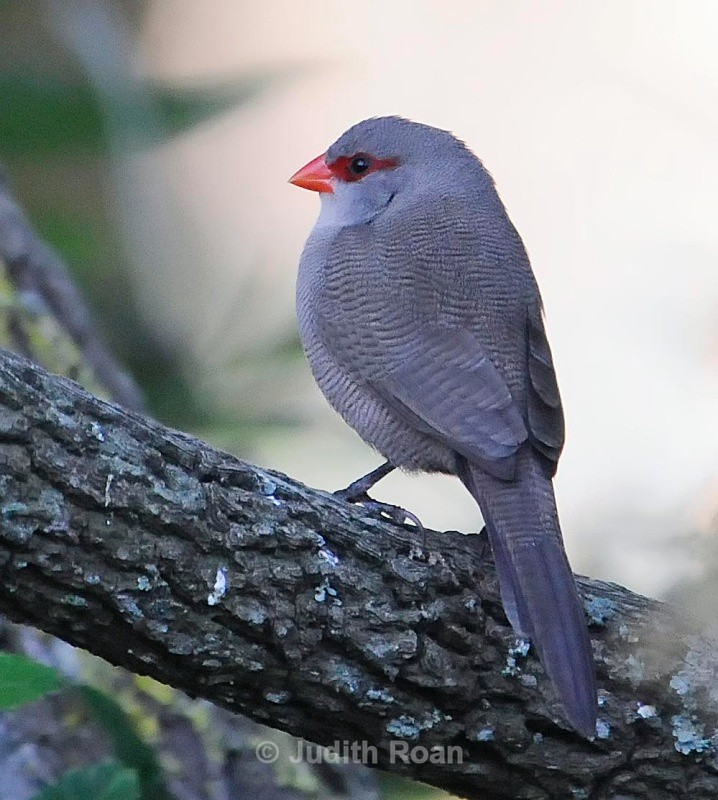 Common Waxbill - South Africa Birds and Mammals