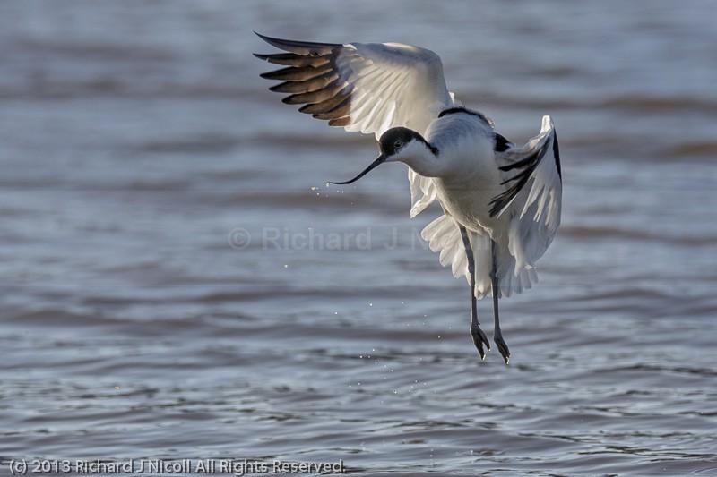 Avocet (Recurvirostra avosetta) landing - Avocet (Recurvirostra avosetta)
