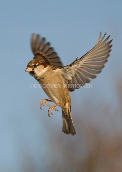 Sparrow - Wildlife
