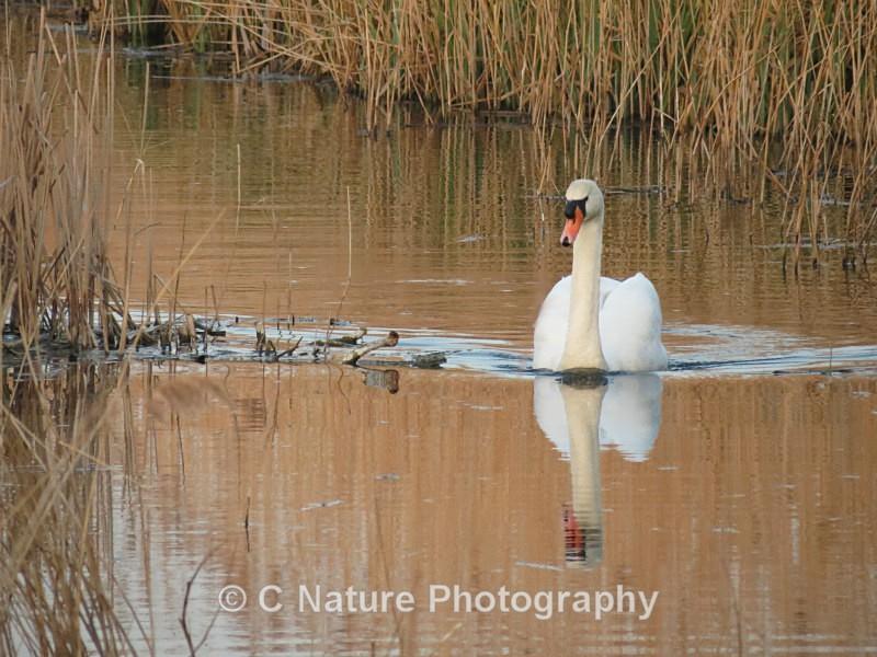 Mute Swan - Birds