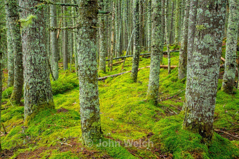 Mossy Spruce Forest - White Mountain National Forest New Hampshire