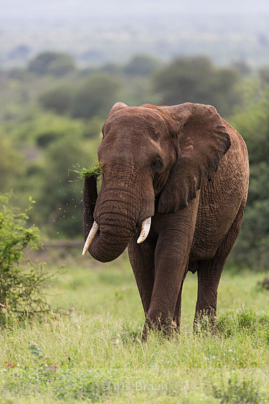 Red Elephant with green grass - Elephant
