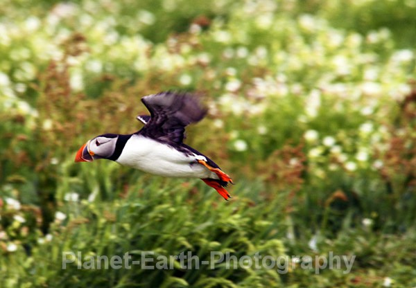 Puffin flypass - Puffins