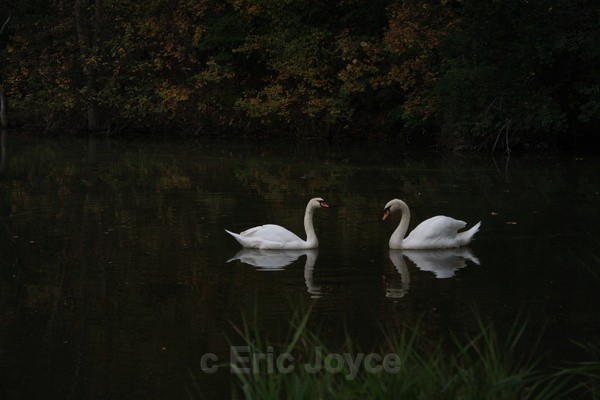 Two Swans II - SW Minnesota
