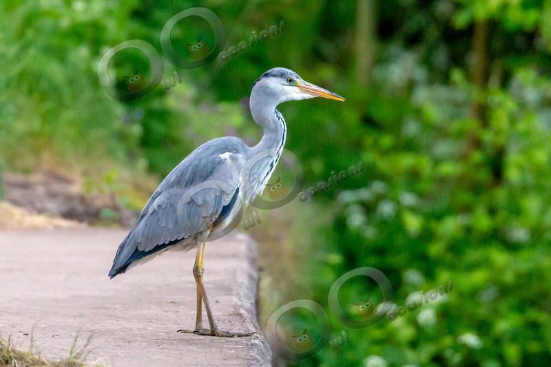 heron Ardea cinerea-5805 - UK birds