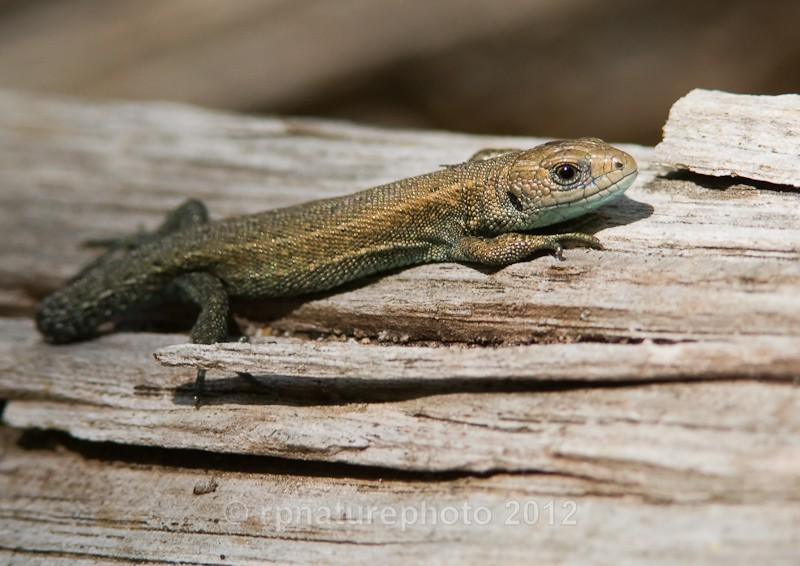 Common Lizard - Lacerta vivipara RPNP0048 - Amphibians & Reptiles