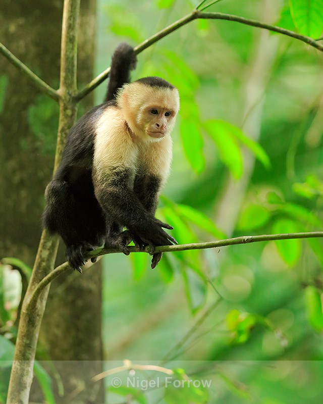White-throated Capuchin, Manuel Antonio, Costa Rica - Monkey