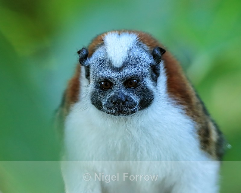Geoffroy's Tamarin close-up, Panama - Monkey