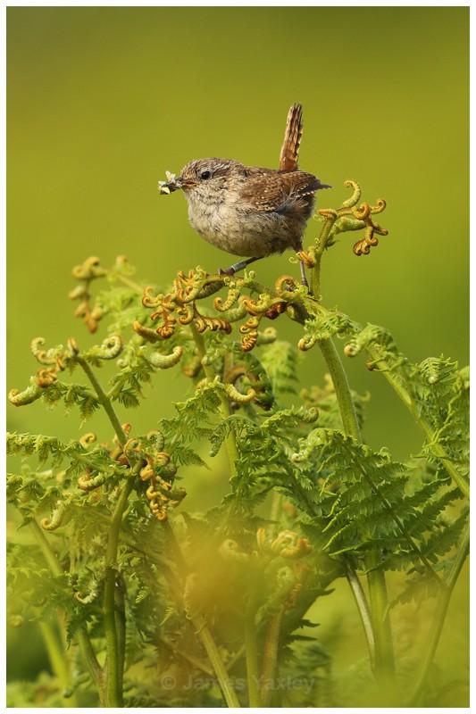 Wren on Fern Frond 2 - British Birds