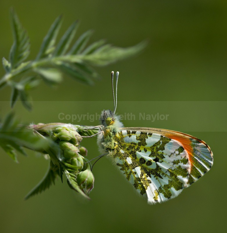 Male Orange Tip Butterfly - Latest Work