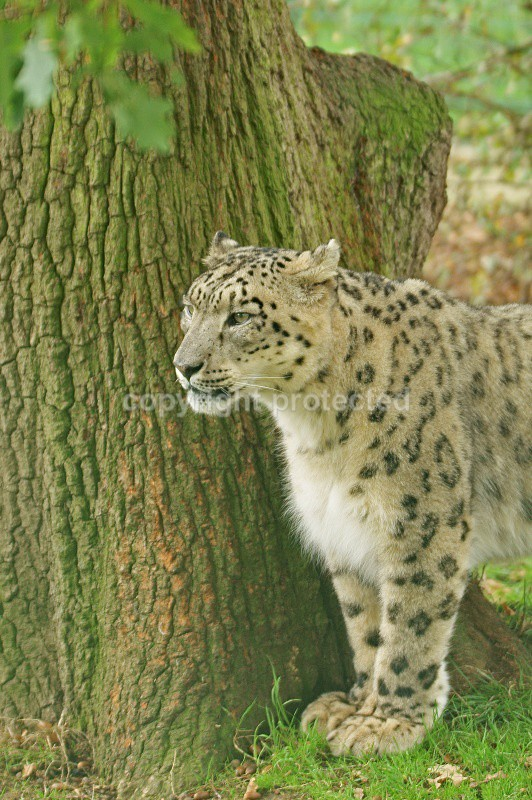 Ranschan, the male snow leopard at WHF