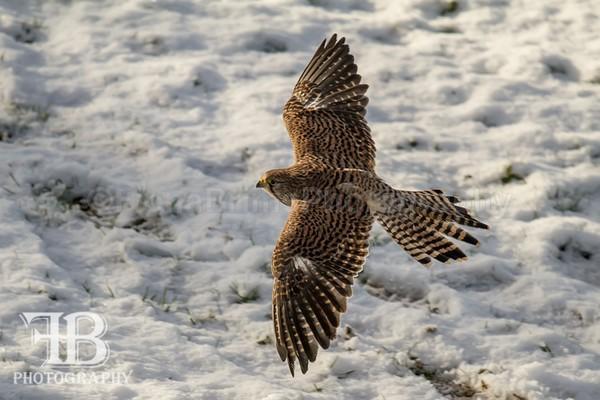 birds-54 - Birds of Prey