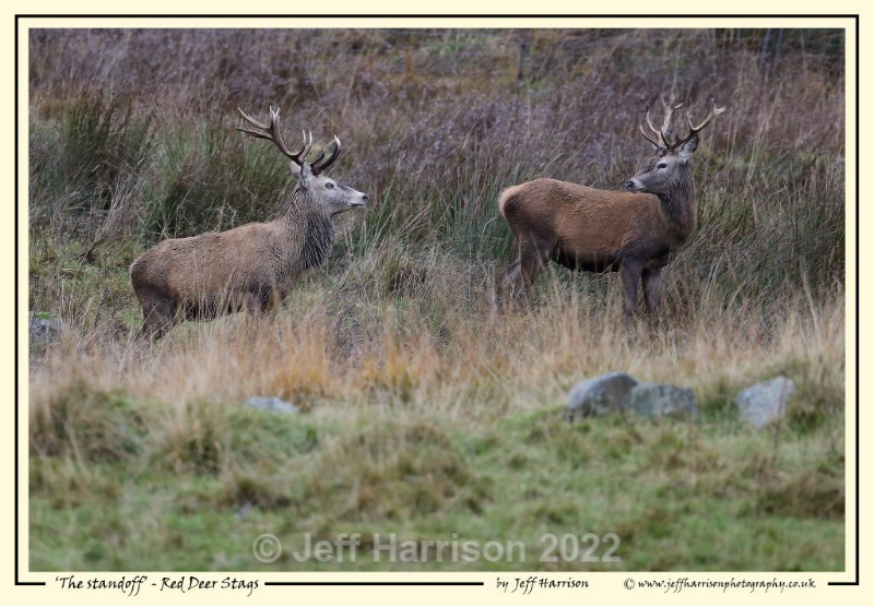 'The standoff - Red Deer Stags' - Image Red D 005 - Red Deer