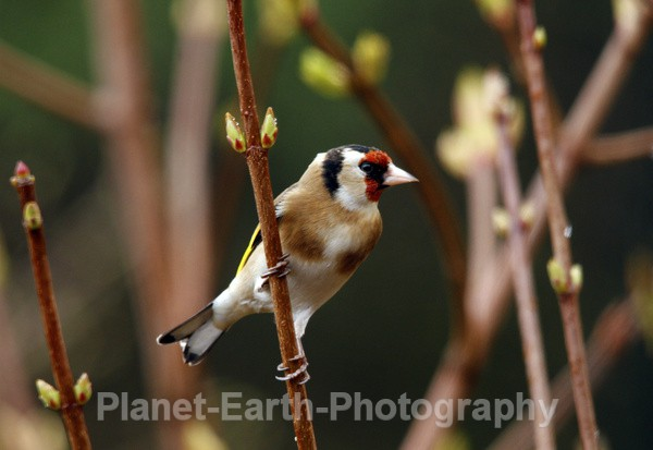 Goldfinch 4 - UK Wildlife