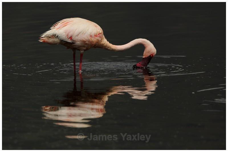 Flamingo Reflection - Kenyan Safari 2013