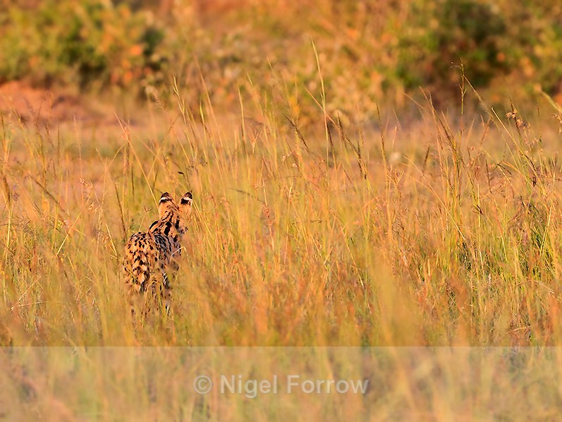 Rear view of Serval hunting in the long grass - Serval