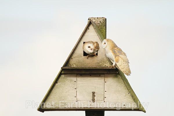 - Barn Owls & Waxwings