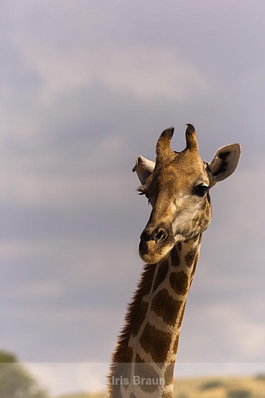 Portrait - Giraffe